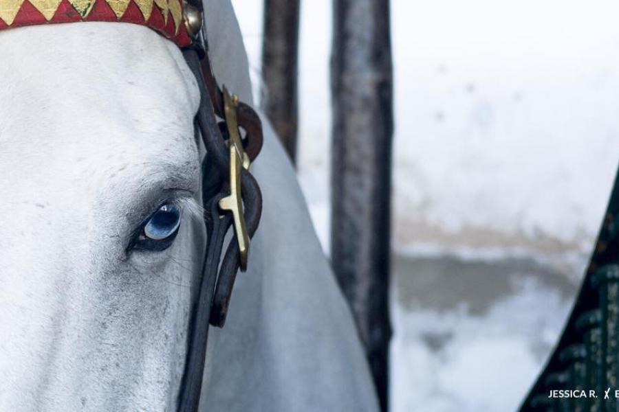 The LUSITANO HORSE